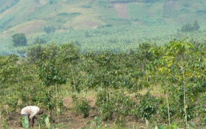 congo coffee field